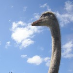 Ostrich profile / Burningwell