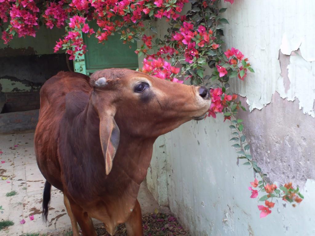 cow at Jiva