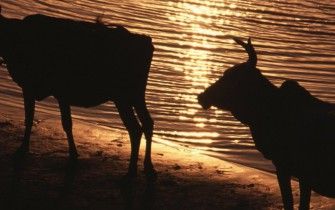 cows at Ganga