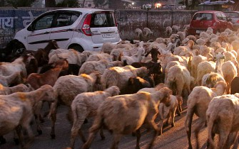 sheep on the street