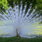 white peacock at Pierre Chatel
