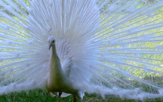 white peacock_pan