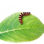 larva, caterpillar