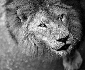 Lion / Pixabay